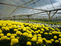 Chrysanthenum Farm
